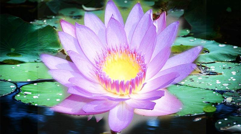 Lotus Liefde
